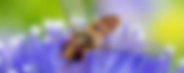 Snorzweefvlieg tuindieren