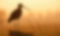 Kardinge weidevogel