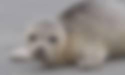 Gewone zeehond Schiermonnikoog