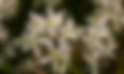Krentenboompje in bloei