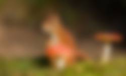 Eekhoorn met paddenstoel