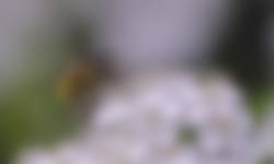 Zweefvlieg op meidoorn