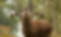 Edelhert in een bos
