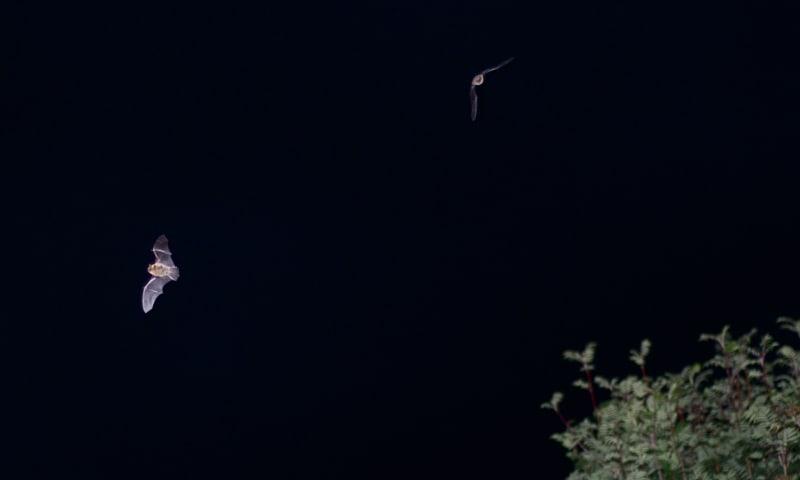 Avondwandeling vleermuizen - Mentink (Winterswijk)
