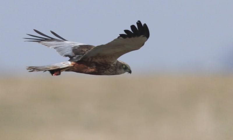 Roofvogels spotten in de Nieuwkoopse Plassen