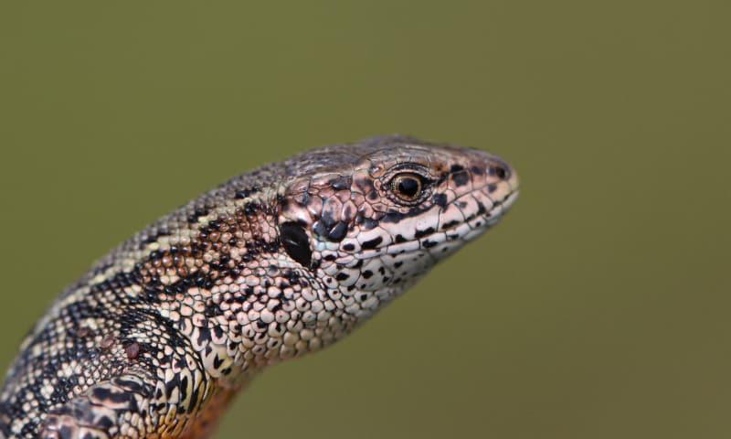 Op zoek naar jonge reptielen - Bergherbos