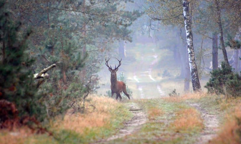 Edelhert in het Deelerwoud