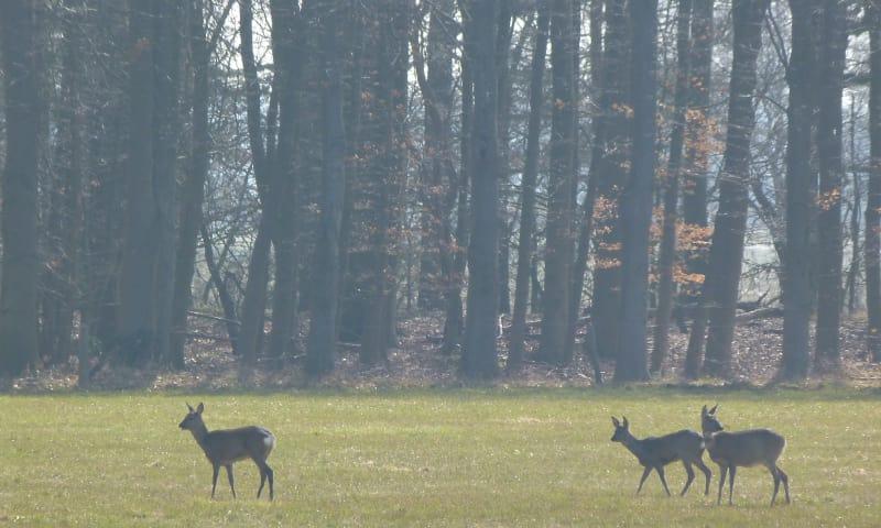 Reeën wandeling Dwingelderveld