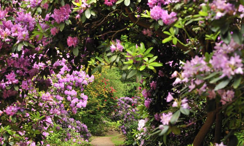 Ontdek de rododendrons van buitenplaats Gooilust