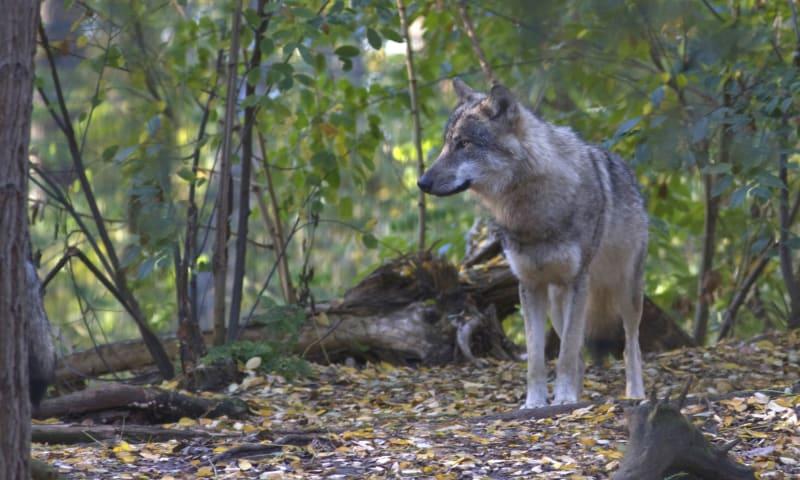 Wolvenexcursie wolven op de Veluwe