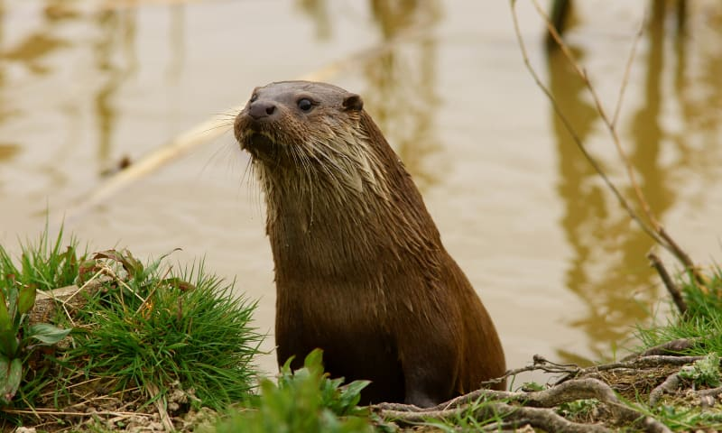 Otterkanoroute op de Nieuwkoopse Plassen, bij Nieuwkoop
