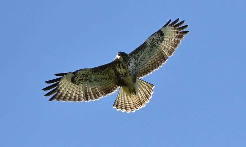 op zoek naar roofvogels op Tiengemeten