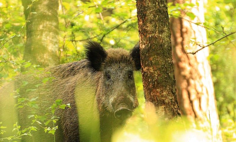 Wild zwijn verscholen achter boom