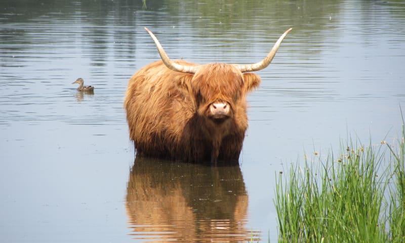 Schotse Hooglander in de Dintelse Gorzen