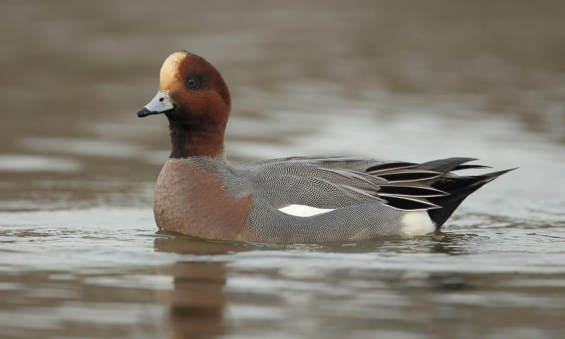 De water- en moerasvogels van Tiengemeten