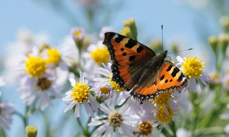 Vlinderroute rondom Melkschuur Zuidpolder, bij Rodenrijs