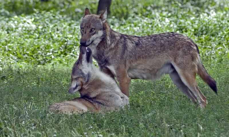 NMRG28009 Wolfjes