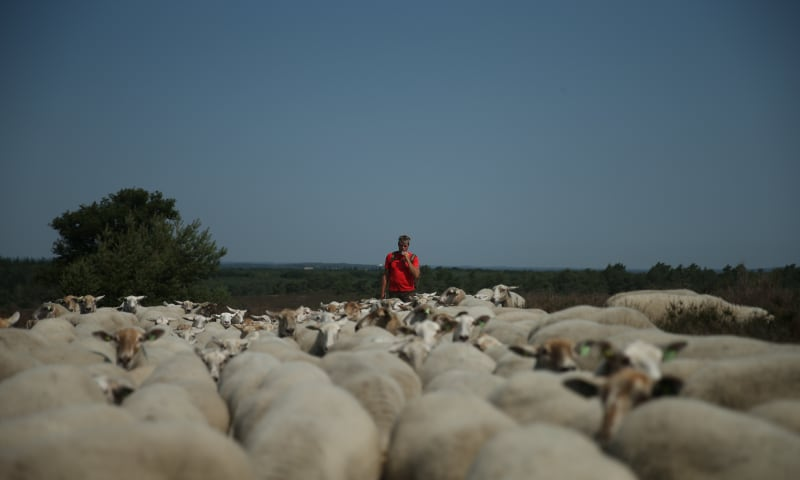 schapen hoeden op De Sprengenberg