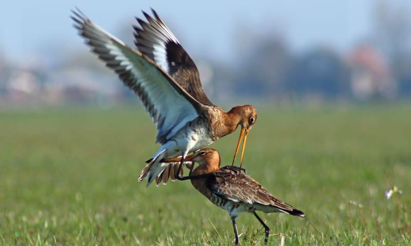 Lezing weidevogels in De Wieden