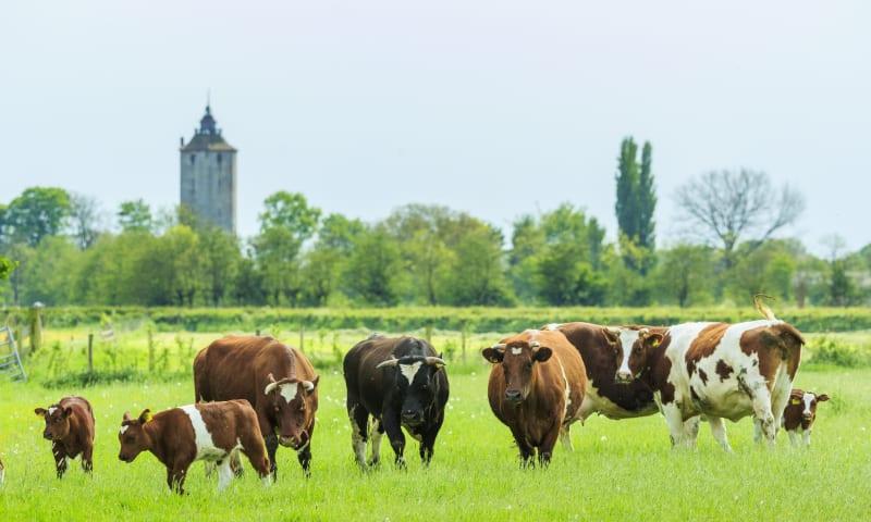 Koeien op landgoed Haarzuilens