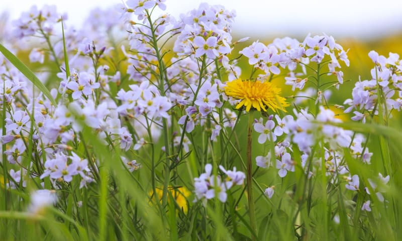 Wilde bloemen vaartocht - De Wieden