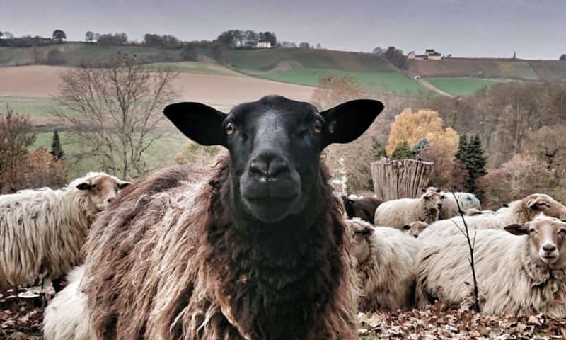 Mergelland schapen