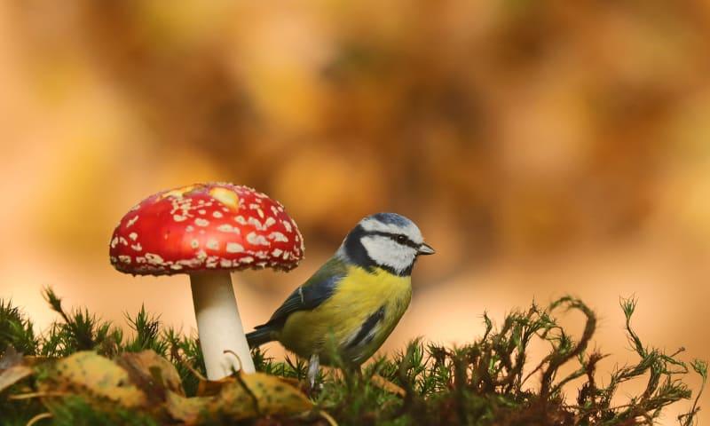 een vliegenzwam en een pimpelmees hoe mooi kan de herfst zijn