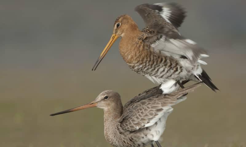 Lezing weidevogels - De Wieden