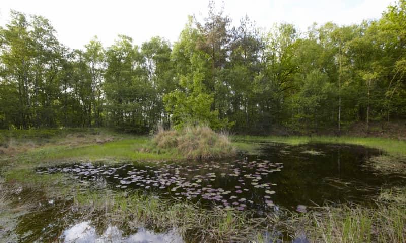Waterlelie in het Galgenven