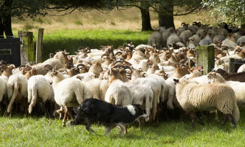 Demonstratie schapen drijven Dwingelderveld