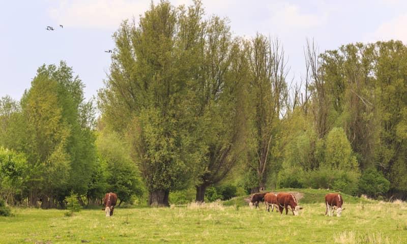 Koe Natuurmonumenten