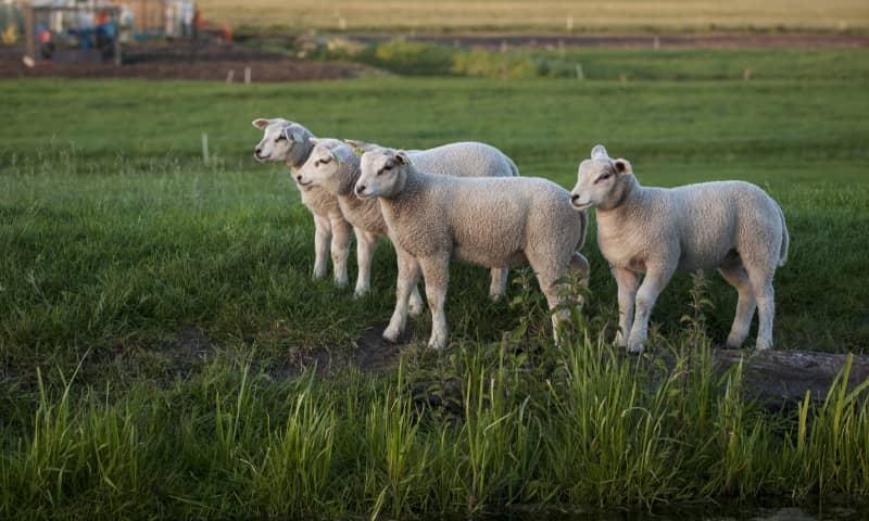 Lammetjesfeest op De Onlanderij
