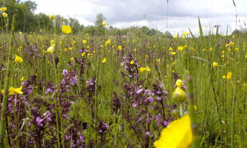 Vaartocht bloemrijk hooiland - De Wieden