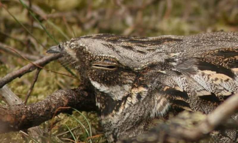 Avondwandeling nachtzwaluw - Planken Wambuis (Ede)