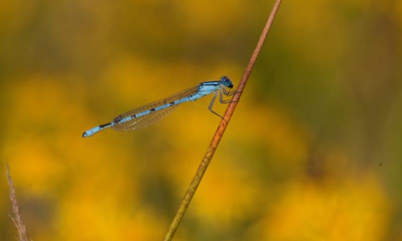 Het leven van de libellen op de Kampina