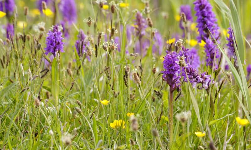 Wandelen langs orchideeën - Zwanenwater