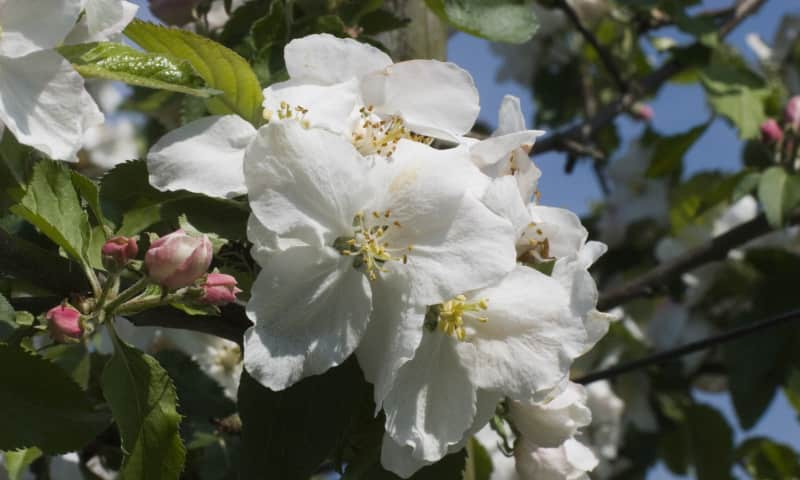 Bloesem fruitboom