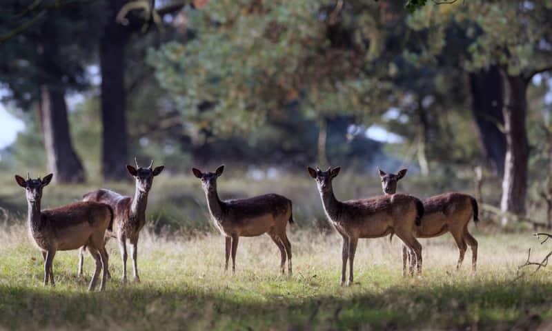 In het Deelerwoud maak je een goede kans om damherten te zien