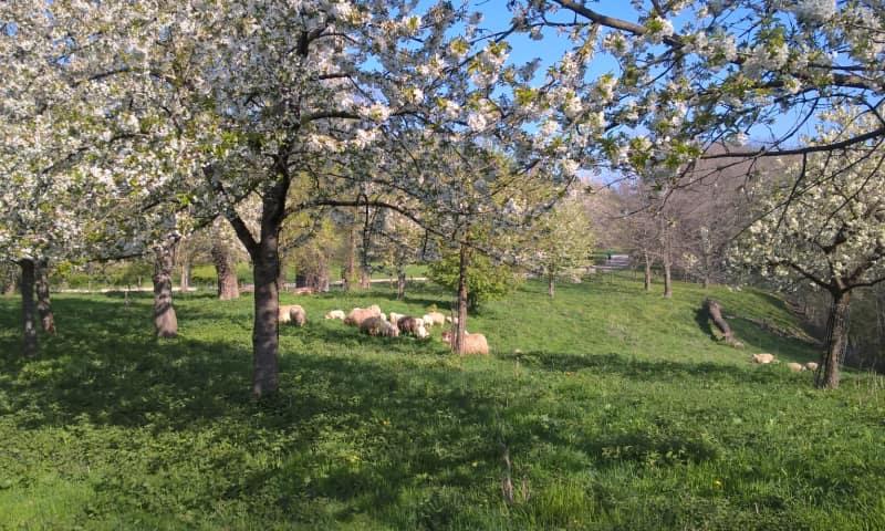 Kersen boomgaard in bloei met Mergellandschapen