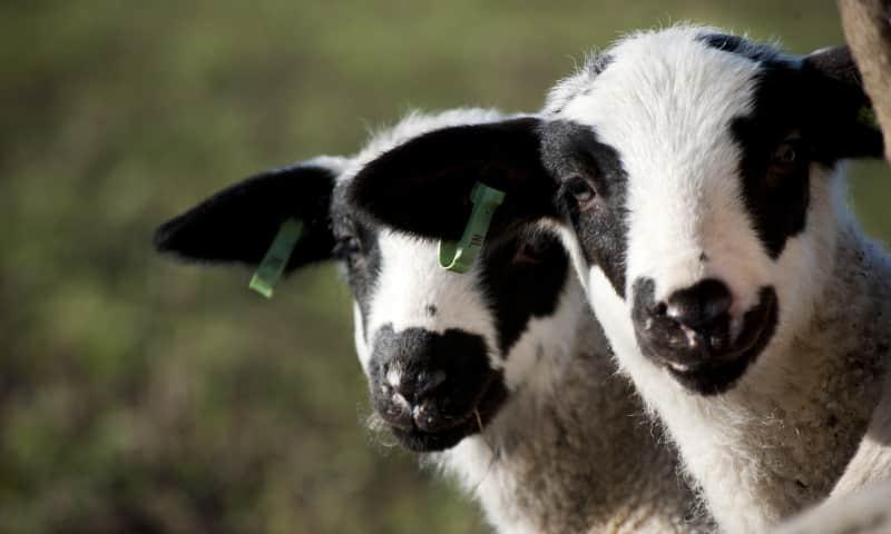 Lammetjes bij Belevenisboerderij Schieveen