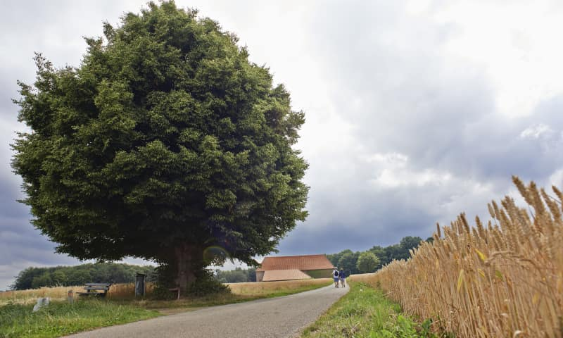Geleenbeekdal boom