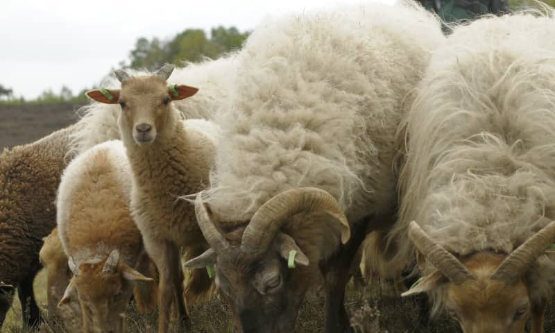 Holtingerveld schapen