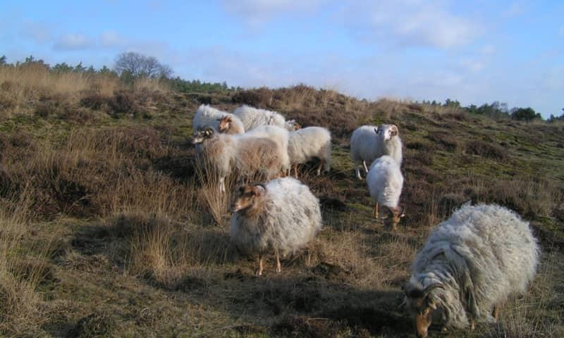 Leuvenumse bossen schapen houden landschap open