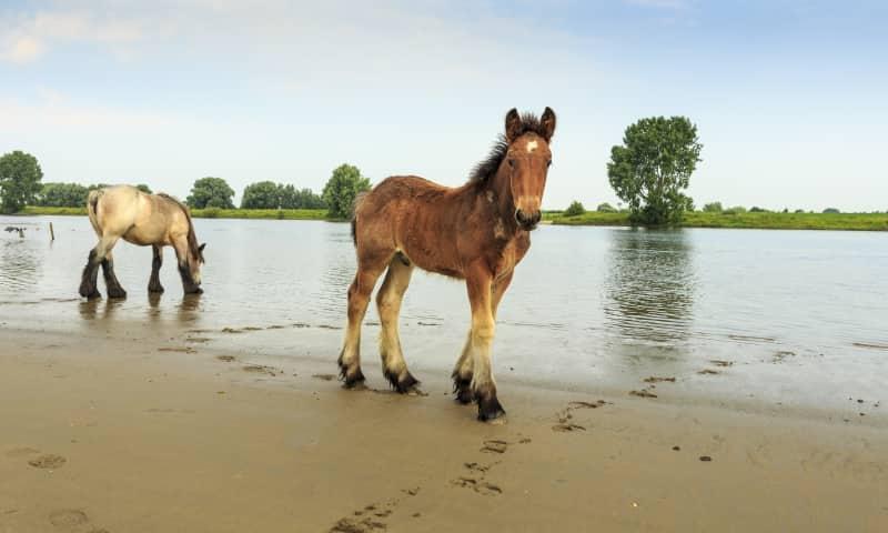 Maasuiterwaarden paard