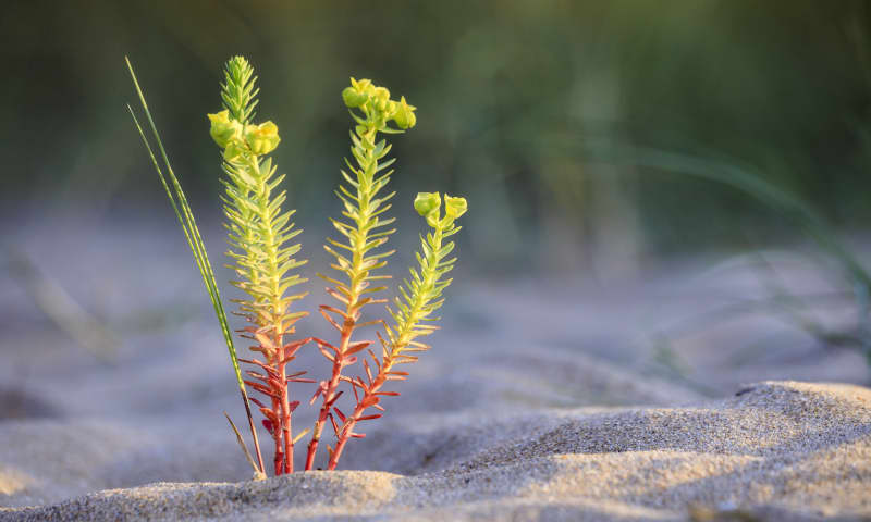 Zuid-Kennemerland duinbloemen