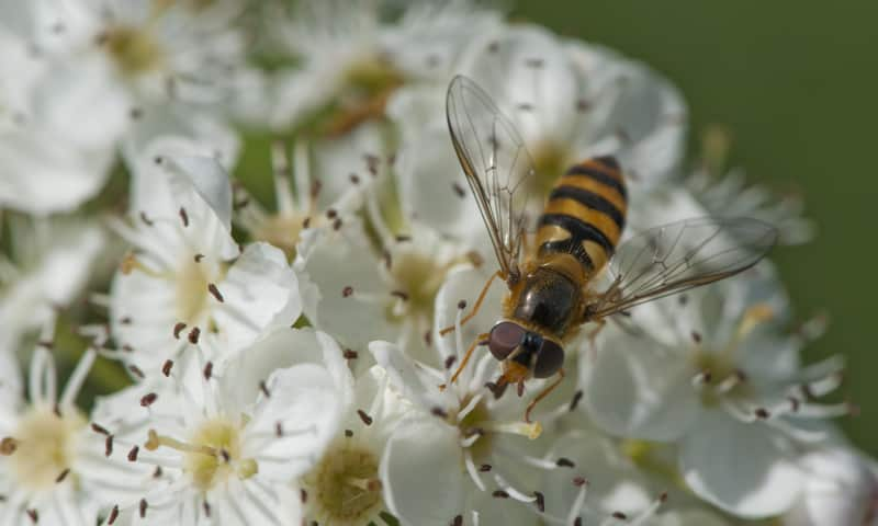 Meidoorn in bloei