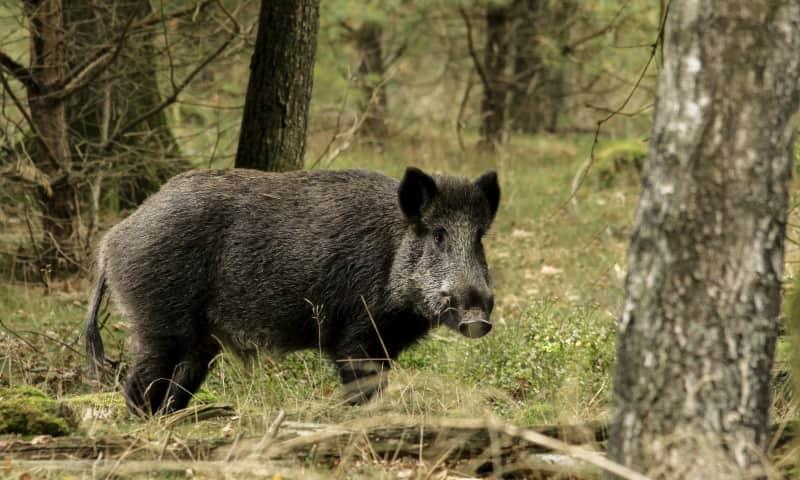 Wild zwijn in bosrand
