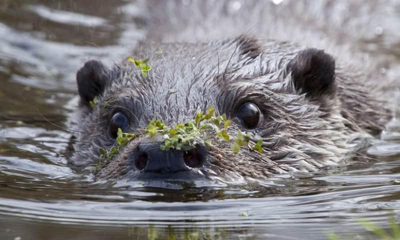 Otters houden van schoon water.