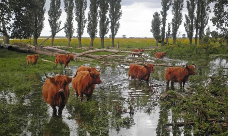 Tiengemeten Schotse Hooglanders