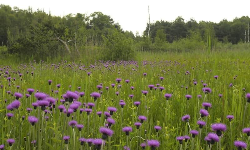 De bijzondere plant de Spaanse Ruiter bedekt een veld in IJsselvallei